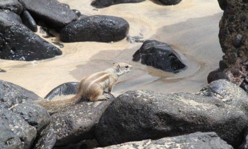 Zdjecie HISZPANIA / - / Fuerteventura / Kanaryjska wiewióreczka