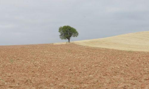 Zdjecie HISZPANIA / Nawarra  / Camino de Santiago / Samotne drzewko