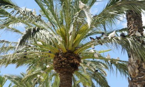 HISZPANIA / Alicante / Elche / Gołębia palma
