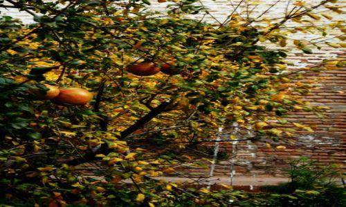 Zdjęcie HISZPANIA / andalusia / granada / pomarancze