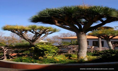 Zdjecie HISZPANIA / Wyspy kanaryjskie / Teneryfa / Smocze drzewa ...