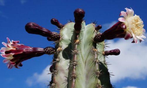 Zdjecie HISZPANIA / Teneryfa / Costa del Silenco / Kaktus