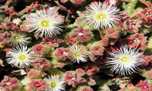 Zdjęcie HISZPANIA / Alicante / Elche / Kwitnący kaktus
