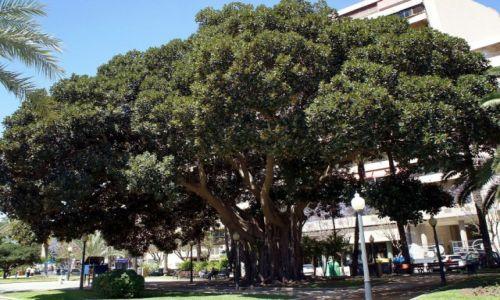 Zdjecie HISZPANIA / Alicante / El Parque de Canalejas / Ficus elastica