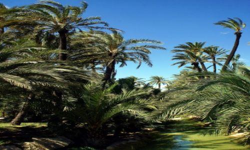 Zdjecie HISZPANIA / Alicante / Ogród miejski / Palmowy gaj