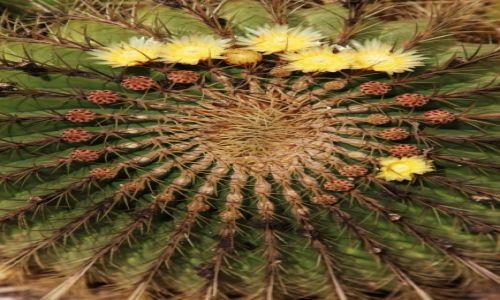 Zdjecie HISZPANIA / Fuerteventura/Wyspy Kanaryjskie / Antigua / Kwitnący ferokaktus