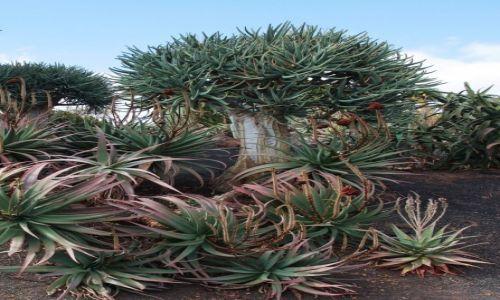 Zdjęcie HISZPANIA / Fuerteventura/Wyspy Kanaryjskie / Oasis Park / Aloesy