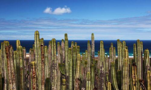 Zdjecie HISZPANIA / Fuerteventura/Wyspy Kanaryjskie / Półwysep Jandia/Cofete / Wilczomlecz