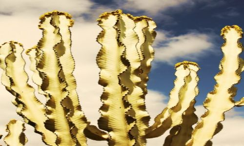 Zdjecie HISZPANIA / Fuerteventura/Wyspy Kanaryjskie / Oasis Park / Złocisty kandelabr