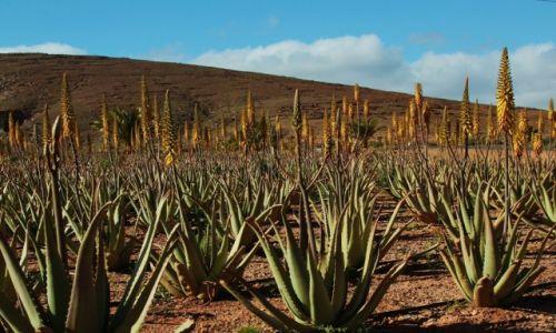 HISZPANIA / Fuerteventura/Wyspy Kanaryjskie / Tiscamanita / Na plantacji aloesu