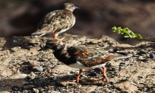 Zdjęcie HISZPANIA / Fuerteventura/Wyspy Kanaryjskie / Półwysep Jandia / Turnstone, czyli Kamusznik zwyczajny