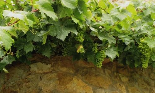 Zdjecie HISZPANIA / Picos de Europa / Mogrovejo / B�dzie wino?