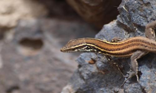 Zdjęcie HISZPANIA / Wyspy Kanaryjskie / La Gomera / w królestwie jaszczurek 1