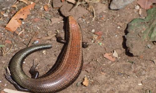 Zdjęcie HISZPANIA / Wyspy Kanaryjskie / La Gomera / w królestwie jaszczurek 2