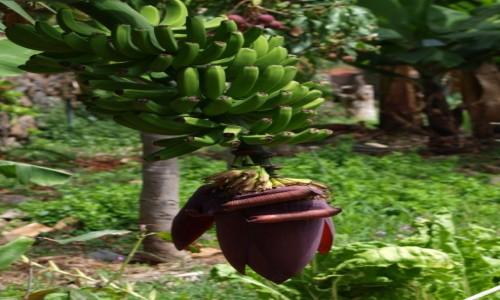 Zdjęcie HISZPANIA / Wyspy Kanaryjskie / La Gomera / bananowiec