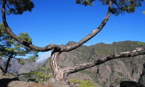 Zdjecie HISZPANIA / La Palma / la Caldeira de Taburiente / Drzewo