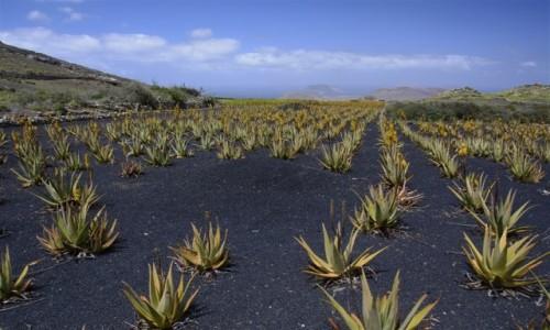 Zdjecie HISZPANIA / Lanzarote / okolice wioski YE / pole kwitnących aloesów