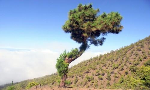 Zdjecie HISZPANIA / Wyspy Kanaryjskie / La Palma, Park Narodowy Caldera de Taburiente / Sosenka