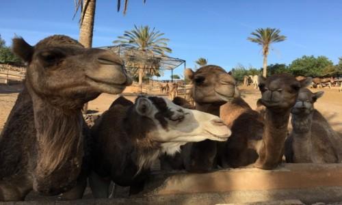 Zdjecie HISZPANIA / La Lajita Oasis Park / Fuerteventura / Pozujące wielbłądy