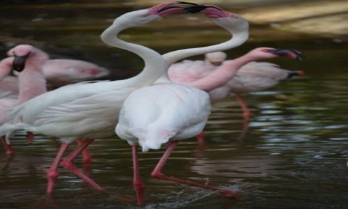 Zdjęcie HISZPANIA / Oasis Park La Lajita / Fuerteventura / Taniec Flamingów