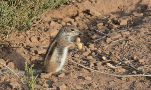 Zdjęcie HISZPANIA / Morro Jable / Fuerteventura / Cudowne wiewiórki