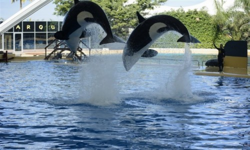 Zdjecie HISZPANIA / Teneryfa / Puerto de la Cruz/Loro Parque / orki