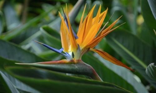 Zdjęcie HISZPANIA / Teneryfa / Puerto de la Cruz / rajski ptak - strelicja
