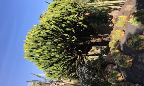 HISZPANIA / La Lajita / Fuerteventura / Ogród Kaktusow