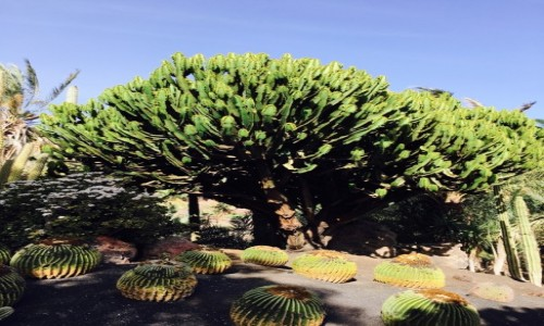Zdjecie HISZPANIA / La lajita / Fuerteventura / Kaktusowe drzewo