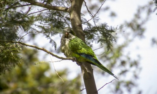 Zdjecie HISZPANIA / Katalonia / Barcelona / papuga w Park Guell
