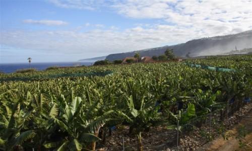 Zdjecie HISZPANIA / Teneryfa / Puerto de la Cruz / plantacja bananów