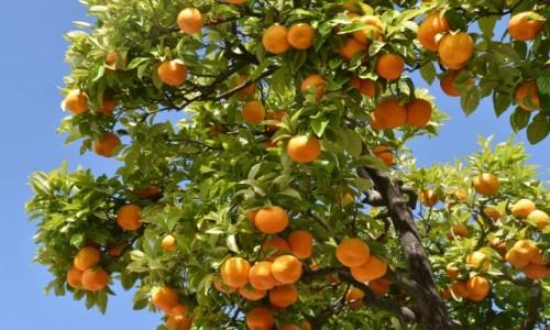 HISZPANIA / Andaluzja / Grazalema / I wszędzie pyszne pomarańcze