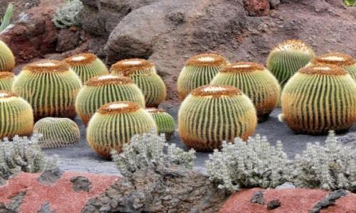 HISZPANIA / Wyspy Kanaryjskie / Lanzarote / W kaktusowym ogrodzie.