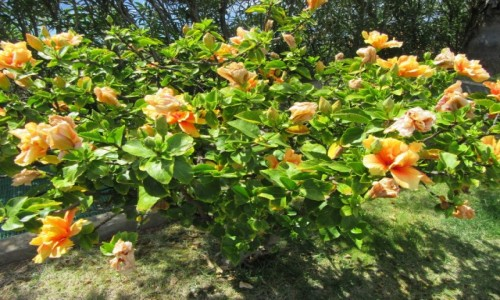 Zdjecie HISZPANIA / Madera / Madera / Kwiaty na Maderze