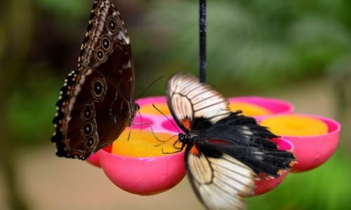 Zdjecie HISZPANIA / Costa Del Sol / Benalmadena / Motyle na pożywieniu