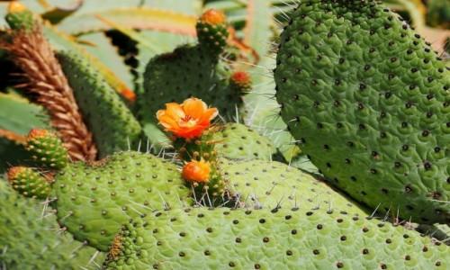 Zdjecie HISZPANIA / Wyspy Kanaryjskie / La Graciosa / Kaktus
