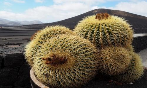 Zdjecie HISZPANIA / Wyspy Kanaryjskie / Lanzarote / Kaktusy na wulkanie