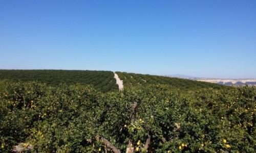 Zdjecie HISZPANIA / Murcia / Pod Murcia / Sady pomaranczowe