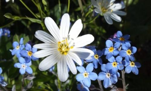 Zdjecie HISZPANIA / Pireneje / Pireneje / Kwiatki z pirenejów