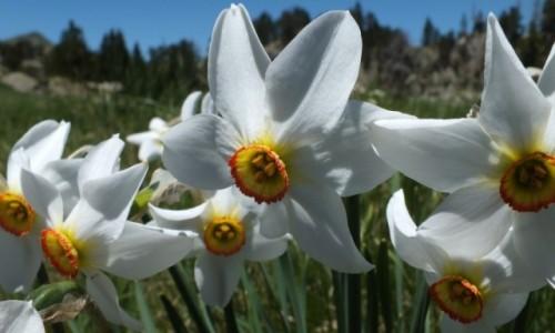 Zdjecie HISZPANIA / Pireneje / Pireneje / Kwiaty z Pirenejów