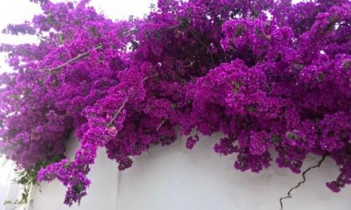 Zdjecie HISZPANIA / prowincja Malaga. / Costa del Sol. / Roślinki Benalmadeny.
