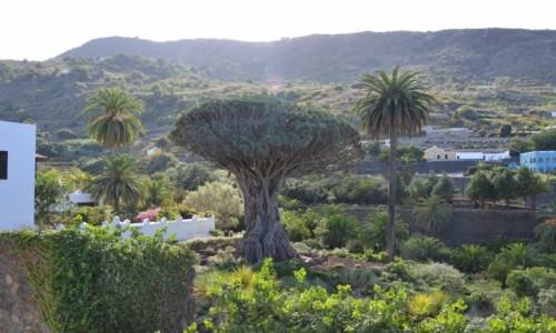 Zdjecie HISZPANIA / Icod de los Vinos  / Teneryfa  / Najstarsze Smocze drzewo na świecie