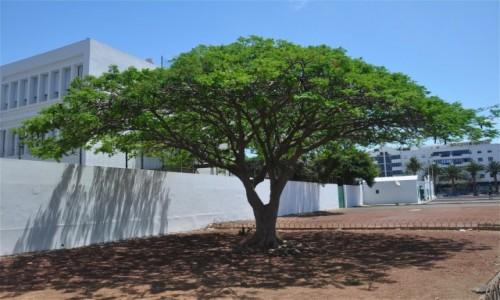 Zdjecie HISZPANIA / Wyspy Kanaryjskie / Lanzarote / Drzewko