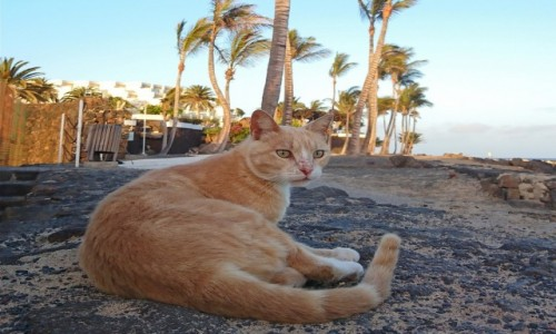 Zdjecie HISZPANIA / Wyspy Kanaryjskie / Costa Teguise / Rudy pod palmami kokosowymi