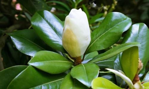 Zdjecie HISZPANIA / Asturia  / Oviedo / Kwiat figowca