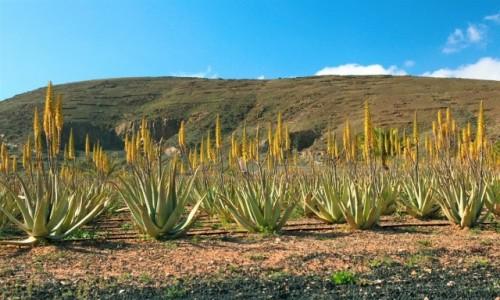 HISZPANIA / Fuerteventura/Wyspy Kanaryjskie / Betancuria / Aloesy