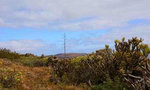 Zdjecie HISZPANIA / Wyspy Kanaryjskie / u podnóża wulkanu La Corona / roślinność endemiczna Lanzarote