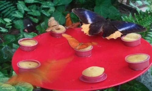 Zdjecie HISZPANIA / Andaluzja. / Motylarium w Benalmadena. / Benalmadena - Motylarium.(Butterfly Park)