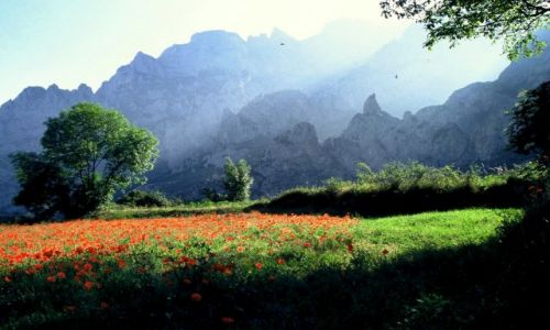 Zdjecie HISZPANIA / Asturia / Picos de Europa, kanion rzeki Cares / Maków wniebowstąpienie