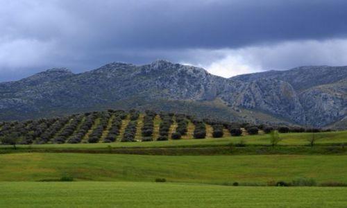 Zdjęcie HISZPANIA / Andaluzja / w drodze do białych wiosek / Oliwki